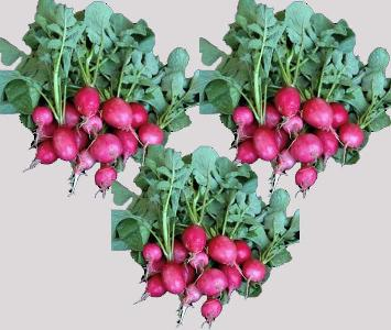 Pink Radish Bunch