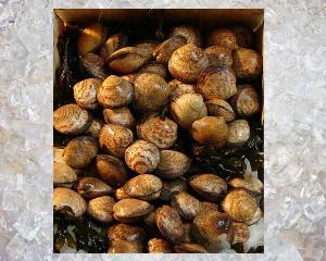 Sea Almond - Amande de Mer